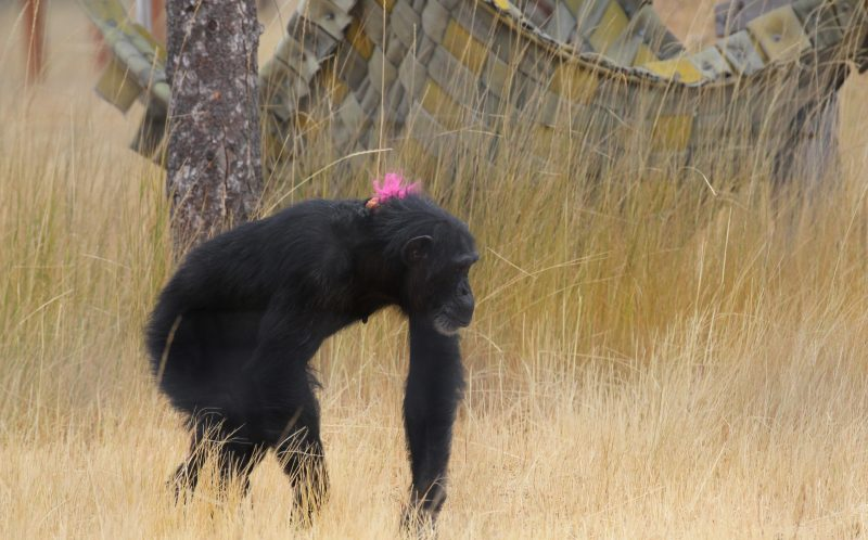 PIC BY DIANA GOODRICH / CATERS NEWS - (PICTURED: Foxie the chimp with a troll on her back.) - These are the adorable images of Foxie the chimp who carries a toy troll with her wherever she goes. Foxie, 40, is never seen without one of her large collection of toy trolls and cuddles, snuggles and plays with the bright-haired doll at the sanctuary in Washington where she now lives. The dolls are said to bring comfort to Foxie who was unable to care for her four babies after they were taken away from her just days after they were born. Foxie was used as a breeder during her time in biomedical research and had her infants cruelly snatched away before having an opportunity to raise them herself. - SEE CATERS COPY