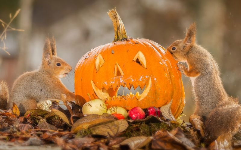 PIC BY GEERT WEGGEN / CATERS NEWS - (PICTURED: Two red squirrels with a halloween pumpkin.)