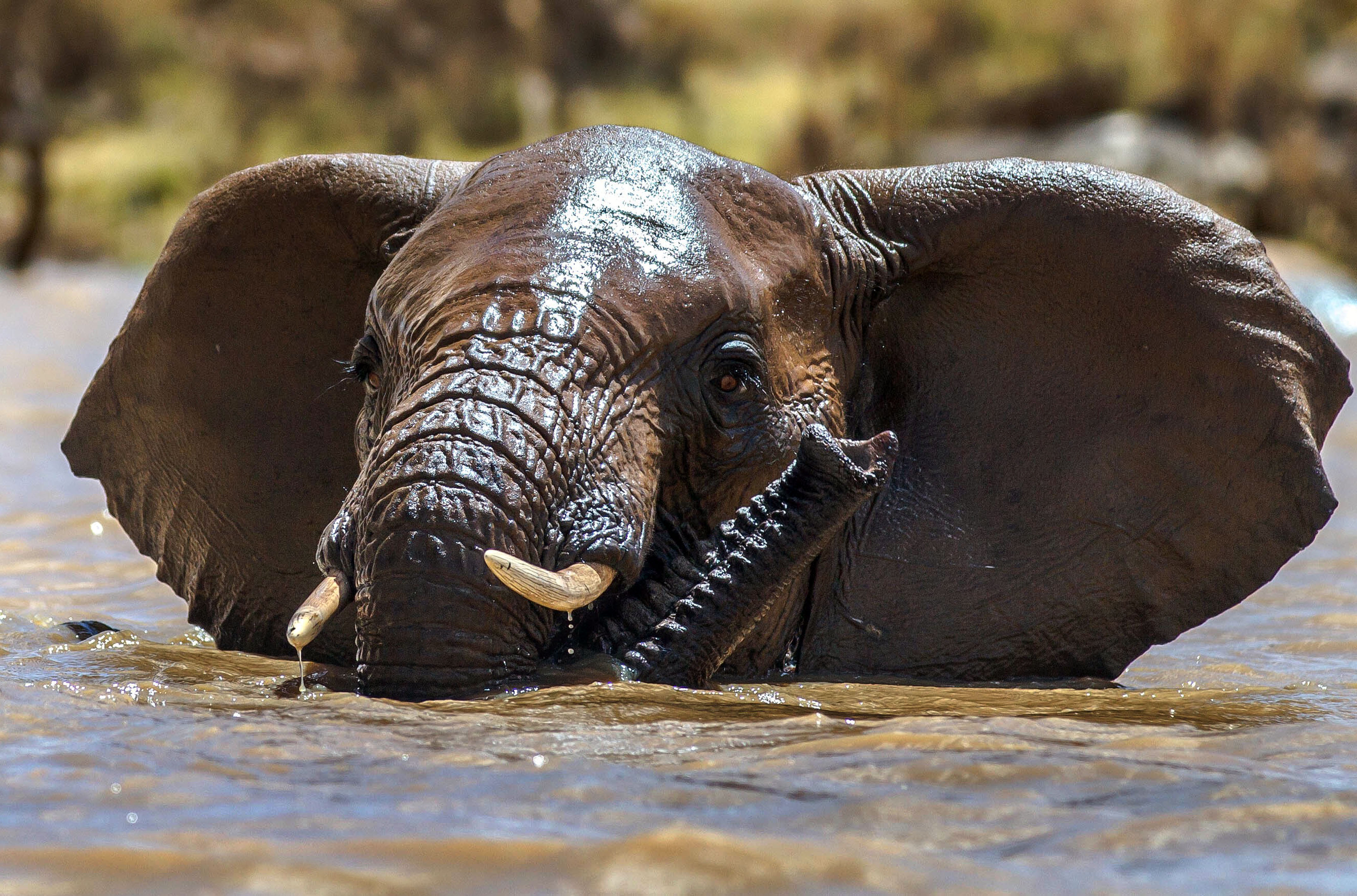 ***MANDATORY BYLINE PIC BY JOSH PERRETT OF EKORIAN.COM/CATERS NEWS - (PICTURED: A stunning image of an elephant swimming in the river at Ekorians Mugie Camp in Kenya. The camp was founded by Donna and Josh Perrett in 2012.) - Tourists had a welcome surprise when they were greeted by ELEPHANTS while kayaking. The holidaymakers were promised a magical experience at a private eco camp in Northern Laikipia, Kenya - and the company certainly delivered! The kayakers were able to get up close and personal with the giant mammals as they played in the water. At one point, three elephants crowded round a very excited couple, while a baby elephant clung onto its back. SEE CATERS COPY.