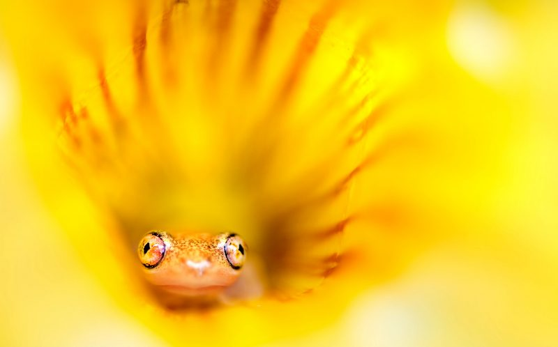 Incredible pictures show tiny frog peeping out of a bright yellow pic by julia sundukovacaters news pictured a tiny little frog peeks mightylinksfo