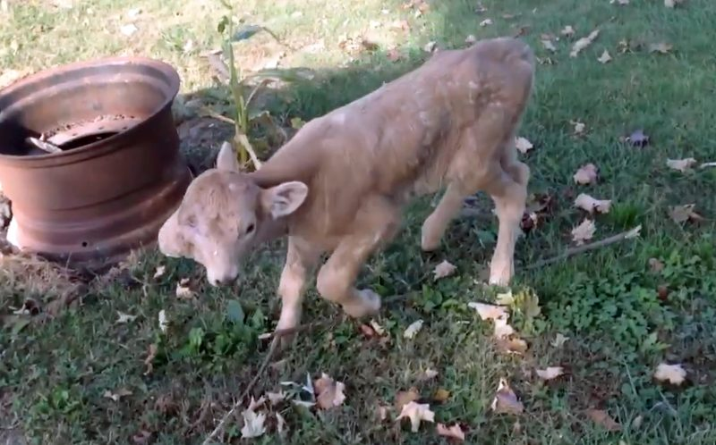 PIC FROM CATERS NEWS - The two faced calf walking towards the camera.