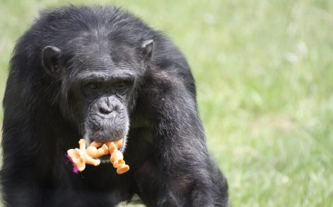 PIC BY DIANA GOODRICH / CATERS NEWS - (PICTURED: Foxie the chimp holding a troll in her mouth.) - These are the adorable images of Foxie the chimp who carries a toy troll with her wherever she goes. Foxie, 40, is never seen without one of her large collection of toy trolls and cuddles, snuggles and plays with the bright-haired doll at the sanctuary in Washington where she now lives. The dolls are said to bring comfort to Foxie who was unable to care for her four babies after they were taken away from her just days after they were born. Foxie was used as a breeder during her time in biomedical research and had her infants cruelly snatched away before having an opportunity to raise them herself. - SEE CATERS COPY