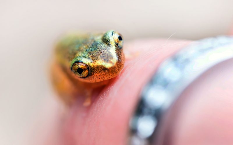 PIC BY JULIA SUNDUKOVA/CATERS NEWS - (PICTURED: Julia Sundukova holds the little frog on her finger to give a sense of how small the little critter is.) - These incredible pictures show a tiny FROG peeking out of a bright yellow flower. The shy little amphibian almost blended into the golden flower - but one eagle- eyed photographer spotted the critter and caught him on camera. Julia Sundukova, from Russia, spotted the minuscule frog hiding in the flower during a trip to Madagascar. SEE CATERS COPY