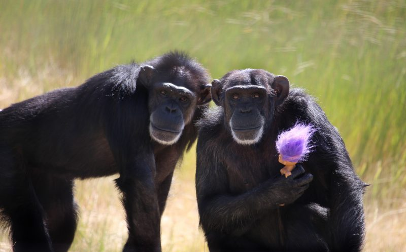 PIC BY DIANA GOODRICH / CATERS NEWS - (PICTURED: Foxie holding a troll doll and Annie (L).) - These are the adorable images of Foxie the chimp who carries a toy troll with her wherever she goes. Foxie, 40, is never seen without one of her large collection of toy trolls and cuddles, snuggles and plays with the bright-haired doll at the sanctuary in Washington where she now lives. The dolls are said to bring comfort to Foxie who was unable to care for her four babies after they were taken away from her just days after they were born. Foxie was used as a breeder during her time in biomedical research and had her infants cruelly snatched away before having an opportunity to raise them herself. - SEE CATERS COPY