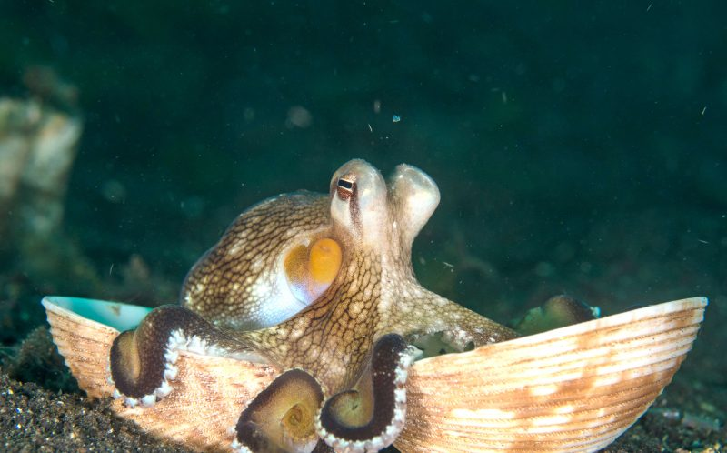 PIC BY PAUL ROSENBLUM/CATERS NEWS - The octopus in its shell.