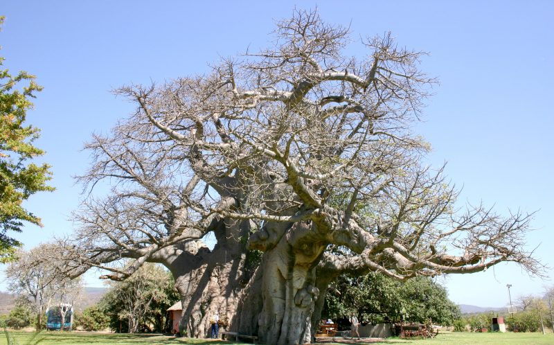 PIC FROM SUNLAND FARM/ CATERS NEWS - (PICTURED: The world famous Baobab tree before the split) -Well have to split the bill...a 1000 year old tree that had a BAR fashioned in its hollow middle has collapsed - after the tree was struck by lightning. The Baobab tree, in Limpopo, South Africa, became a major tourist attraction after owner Heather van Heerden turned it into a bar. But she was devastated when a recent thunderstorm literally split the bar in two - after striking the trees enormous branches. The baobab tree has been dated back by recent technology to 1100 years and is even believed to be older than the Pyramids. SEE CATERS COPY