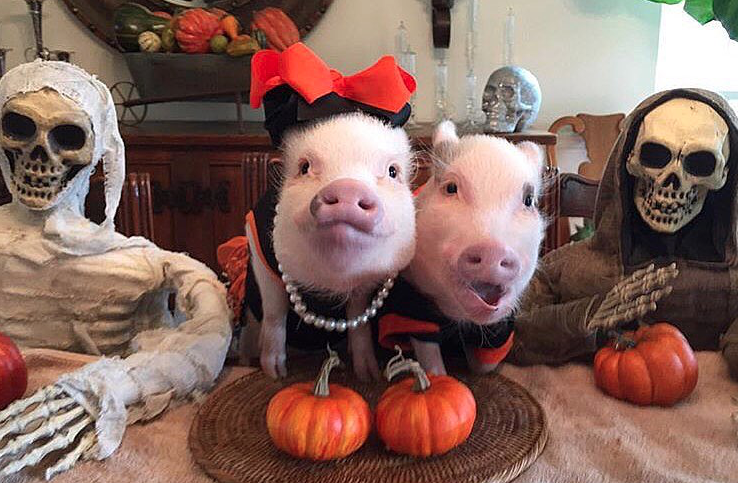 PIC BY MELISSA NICHOLSON/CATERS NEWS - From pumpkins to witches this family of pigs are dressed in an array of spooktacular Halloween costumes.