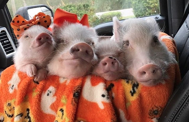 PIC BY MELISSA NICHOLSON/CATERS NEWS - Nap time for these little pigs.