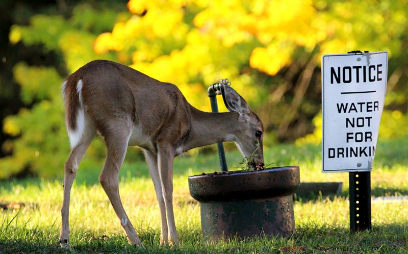 PIC BY KAREN HEID-STEGNER/ CATERS NEWS - (PICTURED: The deer drinking the water in Watkins Glen Cemetery in New York) - Oh deer! This rebel deer decided to throw caution to the wind and break the rules when he drank from a banned fountain. Although a sign by the water fountain clearly states water not for drinking, the defiant deer strolled straight up and drank from it anyway. The funny scene was caught on camera by photographer Karen Heid-Stegner, at Watkins Glen Cemetery in New York. Karen, 63, said: Id gone to the cemetery at dawn to get some sunrise photos of the lake. SEE CATERS COPY.