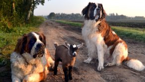 PIC BY ISOLDE MATTART / CATERS NEWS - (PICTURED: Hans the goat and doggy friends, Julie and Basiel.) - Youve got to be kidding! These are the adorable pictures of two Saint-Bernard dogs who have formed a remarkable friendship with a goat. Pet dogs Julie, 6, and Basiel, 3, are not only doggy pals but are rarely pictured without their animal entourage  consisting of a kid goat, fluffy chicks, a Shetland pony, a donkey and some chickens. Often pictured with a chick on their head or a goat on their back, these laid back pooches have become friends with a whole host of farmyard animals. But from their unusual circle of friends, their closest pal is a kid goat called Hans who rarely leaves their side. - SEE CATERS COPY