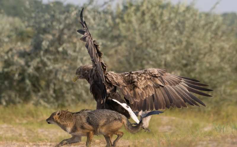 PIC BY LARS BEZEMER/ CATERS NEWS - (PICTURED: The Eagle fending off the hungry Jackal) - Pick on someone your own size! This is the dramatic moment an angry eagle squared up to a snarling jackal to protect a tiny bird from his clutches. As the hungry jackals goes to pounce on the terrified little bird, the protective eagle rears up and eventually chases him away. The tense stand-off was caught on camera by Lars Wiebe Bezemer, a pastry chef from the Netherlands, during a trip to the Danube Delta in Romania. Lars, 25, said: When a confrontation like this happens in front of your eyes, its like watching a great National Geographic series live. SEE CATERS COPY.