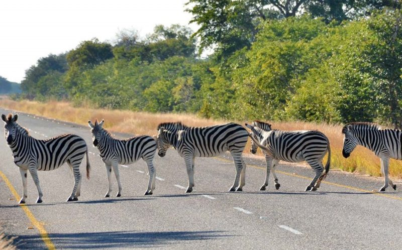 *** MANDATORY BYLINE PIC BY PAUL KARNSTEDT/ CATERS NEWS *** - (PICTURED: The Zebras crossing the road) - Its a real life zebra crossing! These hilarious snaps of zebras lining up across the road will bring a smile to your face. The amusing scene was caught on camera by photographer Paul Karnstedt, near Ngoma Safari Lodge in Botswana. Paul said: I work for Africa Albida Tourism, who own and operate Ngoma Safari Lodge. I was just on my way back to the lodge, close to Chobe National Park, when I suddenly saw this pack of zebras lining the road. SEE CATERS COPY.
