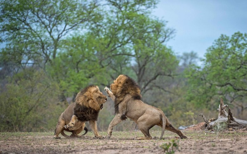 PIC BY CORLETTE WESSELS / CATERS NEWS - (PICTURED: Pic 5 of 14, Two brother lions are caught fighting in Kruger, South Africa.) - Now thats what your call a FUR-OCIOUS fight! These dramatic pictures show two lions coming to blows with one another in a dramatic fight for dominance. Seething with anger, the lions sent fur flying through the air when they came claw to claw in an intense battle. The snarling lions were clearly in disagreement about something when they began ferociously roaring at one another in Kruger National Park, South Africa.The fight quickly escalated when one of the lions, clearly deciding enough was enough, launched himself at the other. - SEE CATERS COPY