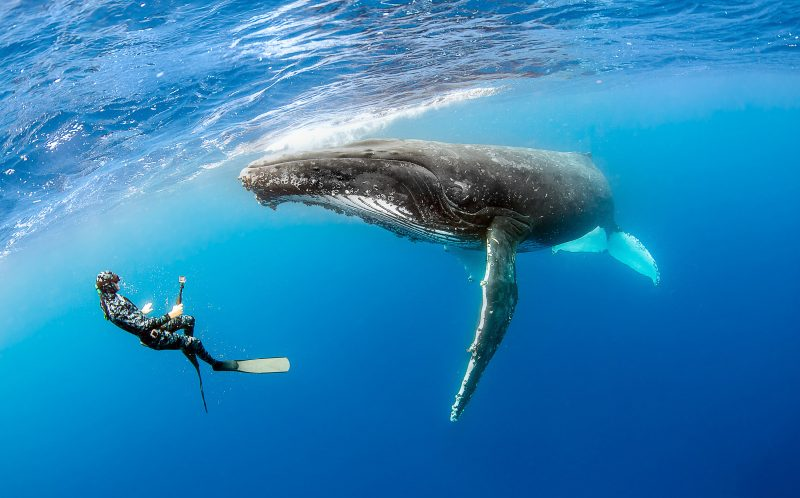 ** MANDATORY BYLINE ** PIC BY NARDIA ALY / CATERS NEWS - (PICTURED: ) - How's that for a selfie! Daring diver snaps an underwater picture of herself with a 40-ton whale. Nadia Aly, 32, was leading a humpback whale tour in the pristine waters of Tonga in the Pacific Ocean when she captured the epic selfie. She was photographing divers from the tour interacting with the pod of whales when just came within just five metres of one. Ceasing the moment, Nadia quickly pulled out her camera and posed for a photo with the gentle giant. - SEE CATERS COPY