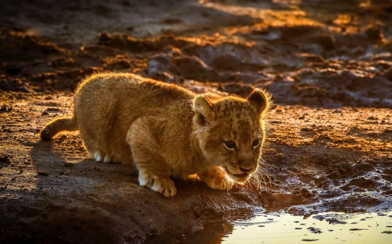 PIC BY HEINRICH NEUMAYER/MERCURY PRESS - The lion cub having a drink.