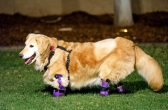 ***PLEASE NOTE THE MANDATORY BYLINE PIC BY ROBERT Q FUGATE/CATERS NEWS *** - (PICTURED: Chi Chi wears a prosthesis on her legs.) - A golden retriever has finally walked with prosthetics after a quadruple amputation saved her life. The adorable pooch, named Chi Chi, was left for dead outside a dog meat farm in South Korea, where she had been tied up by her paws to prepare her for slaughter. The tight bindings ate away at her flesh and after the farmers deemed her unworthy for food, she was disposed of in a rubbish bag. Thankfully, she was found by an animal welfare group and in a bid to save her life they amputated all four paws. Chi Chi was then flown 6,000 miles to Arizona, USA, where Elizabeth, 45, and Richard Howell, 44, welcomed her into their home. SEE CATERS COPY.