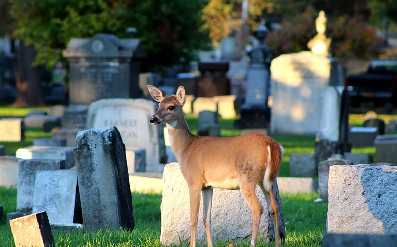PIC BY KAREN HEID-STEGNER/ CATERS NEWS - (PICTURED: The deer walking around Watkins Glen Cemetery in New York) - Oh deer! This rebel deer decided to throw caution to the wind and break the rules when he drank from a banned fountain. Although a sign by the water fountain clearly states water not for drinking, the defiant deer strolled straight up and drank from it anyway. The funny scene was caught on camera by photographer Karen Heid-Stegner, at Watkins Glen Cemetery in New York. Karen, 63, said: Id gone to the cemetery at dawn to get some sunrise photos of the lake. SEE CATERS COPY.