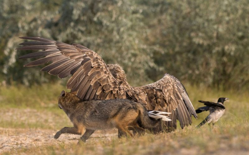 PIC BY LARS BEZEMER/ CATERS NEWS - (PICTURED: The Eagle inbetween the Jackal and little bird) - Pick on someone your own size! This is the dramatic moment an angry eagle squared up to a snarling jackal to protect a tiny bird from his clutches. As the hungry jackals goes to pounce on the terrified little bird, the protective eagle rears up and eventually chases him away. The tense stand-off was caught on camera by Lars Wiebe Bezemer, a pastry chef from the Netherlands, during a trip to the Danube Delta in Romania. Lars, 25, said: When a confrontation like this happens in front of your eyes, its like watching a great National Geographic series live. SEE CATERS COPY.