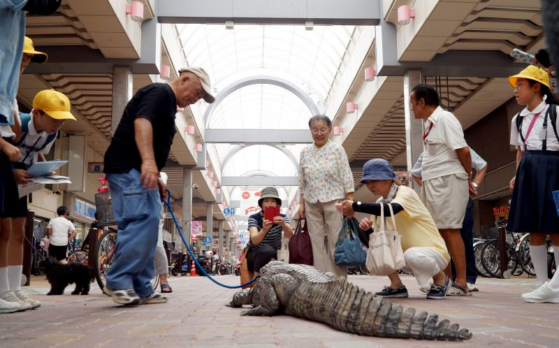 **NO SALES / USE IN JAPAN ** PIC BY 28 LAB / CATERS NEWS - (PICTURED: Nobumitsu Murabayashi, 65 from Kure City, Hiroshima, Japan, draws a sizeable crowd whenever he walks his pet caiman. ) - Most people settle for cats or dogs as their pet of choice. But one Japanese man has taken things a step further - adopting a giant 6ft 8in caiman. Nobumitsu Murabayashi, 65, can regularly be seen strolling down the road with his unlikely pet - much to the bemusement of passers by. And despite weighing an eye-watering 100lbs, the gentle giant lives inside Mr Murabayashis home in Kure City,Hiroshima, Japan. The pair have been living together for 34 years. SEE CATERS COPY.