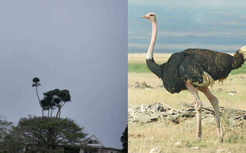 PIC BY NIKKI-KIM YATES / CATERS NEWS - (PICTURED: An tree in the shape of an Ostrich.) - This is the TREE-MENDOUS picture of a tree that bears an uncanny resemblance to an ostrich! With its long neck, plume of feathers and skinny legs this tree looks strikingly similar the worlds largest bird. Tourist Nikki-Kim Yates from London spotted the funny shaped tree while on holiday with family and friends in St Lucia. Nikki-Kim, 24, said: We were sailing down the St Lucia River on a river cruise when I saw the oddly shaped tree. - SEE CATERS COPY