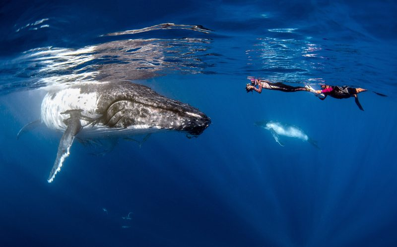 How's that for a selfie! Daring diver snaps an underwater picture of herself with a 40-ton whale. Nadia Aly, 32, was leading a humpback whale tour in the pristine waters of Tonga in the Pacific Ocean when she captured the epic selfie. She was photographing divers from the tour interacting with the pod of whales when just came within just five metres of one. Ceasing the moment, Nadia quickly pulled out her camera and posed for a photo with the gentle giant
