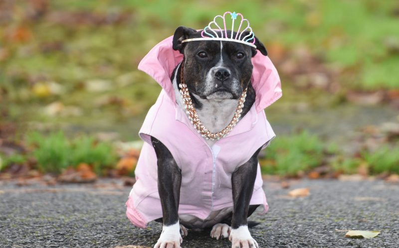 PIC BY MERCURY PRESS (PICTURED: CLEO THE STAFFORDSHIRE BULL TERRIER IN HER PRINCESS COSTUME)A personal trainer has spent 18,000 on cars, boats, outfits and even a PA for a pampered staffy he says is the perfect daughter. Anthony Walsh, 55, rescued Princess Cleopatra Superchill Cleo for short when she was 18 months old and has spent thousands on clothing, accessories and toys for her in the last three years. And the childless single man claims the five-year-old pooch who he pushes around on a 1,500 pram converted into a throne fit for her royal namesake is cleverer than most humans. SEE MERCURY COPY