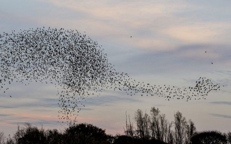 PIC BY GERALD ROBINSON/MERCURY PRESS (PICTURED: THE FORMATION OF STARLINGS THAT APPEAR TO LOK LIKE A DINOSAUR ABOVE MIDLETON MOOR LAGOONS IN THE PEAK DISTRICT) A dad-of-three caught the moment murmating starlings scrambled into formation to make the perfect shape of a DINOSAUR, which is being dubbed a starlingasaurus.The snap, captured by Gerald Robinson, clearly shows the birds making the legs, body, neck and head of a prehistoric creature that wouldnt look amiss in Jurassic Park.The 55-year-old photographer captured around 14,000 birds making the shape of what his friends immediately called a starlingasaurus on an outing to Middleton Moor Lagoons up in the Peak District. Gerald, from Rotherham, South Yorks, said: Its quite common for the starlings to make some really strange shapes when they are murmating.However when I caught this I couldnt believe it as it really does look like a prehistoric monster. It was an odd shape to see moving about in the sky, it was huge. The way they moved made it look alive. SEE MERCURY COPY