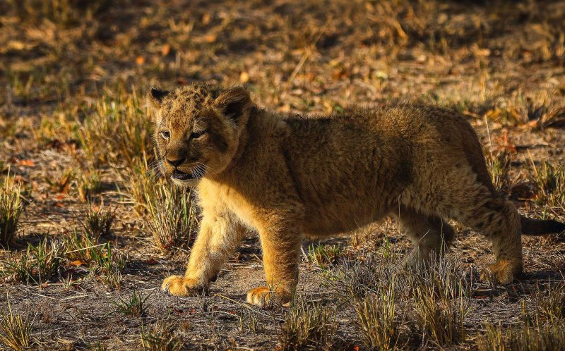 PIC BY HEINRICH NEUMAYER/MERCURY PRESS - The lion cub looking around.