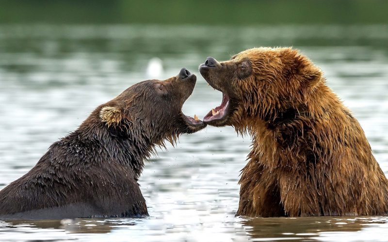 PIC BY GIUSEPPE DAMICO / CATERS NEWS - (PICTURED: Two berars playing with each other in the waters of Kurrile Lake in Russia.) - Its a scene familiar to many humans - these bears look like theyve just stumbled out at closing time. A bit damp, looking a little worse for wear, holding each other as they spoil for a fight, they look like theyve been out on the town. Instead, the bear brothers are taking a playful break from salmon fishing in Lake Kurrile, in Kamchatka, eastern Russia. The photographs were taken by 57-year-old Italian Giuseppe DAmico. SEE CATERS COPY.