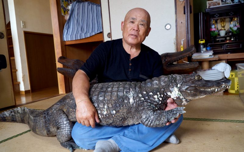 **NO SALES / USE IN JAPAN ** PIC BY 28 LAB / CATERS NEWS - (PICTURED: Nobumitsu Murabayashi, 65 from Kure City ,Hiroshima, Japan, holding his pet caiman.) - Most people settle for cats or dogs as their pet of choice. But one Japanese man has taken things a step further - adopting a giant 6ft 8in caiman. Nobumitsu Murabayashi, 65, can regularly be seen strolling down the road with his unlikely pet - much to the bemusement of passers by. And despite weighing an eye-watering 100lbs, the gentle giant lives inside Mr Murabayashis home in Kure City,Hiroshima, Japan. The pair have been living together for 34 years. SEE CATERS COPY.