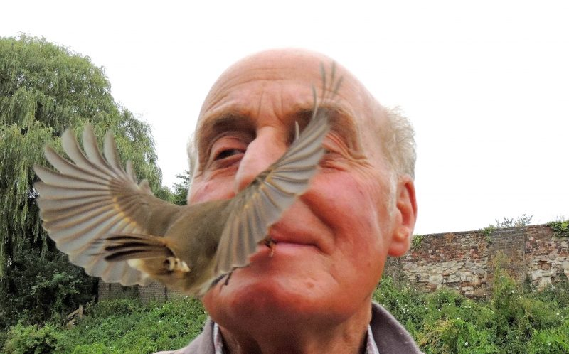 PIC BY TERRY TAYLOR / CATERS NEWS - (PICTURED: Terry Taylor feeds his pet robin by holding a worm between his lips for it to grasp with its beak.) - A pensioner has become a ROBIN WHISPERER - after spending hours talking to the birds in his garden and can now feed them from his mouth. Terry Taylor, 73, a retired cabinet maker from Waltham Abbey, Essex, accidentally took feeding the birds to a whole new level. After losing his wife in 2005, Terry has found comfort in feeding robins but was left stunned when one first pinched a worm from between his lips. Since the Summer, Terry has been hand-feeding a pair of Robins he recognised as mother and named them Susie and Monty. SEE CATERS COPY.