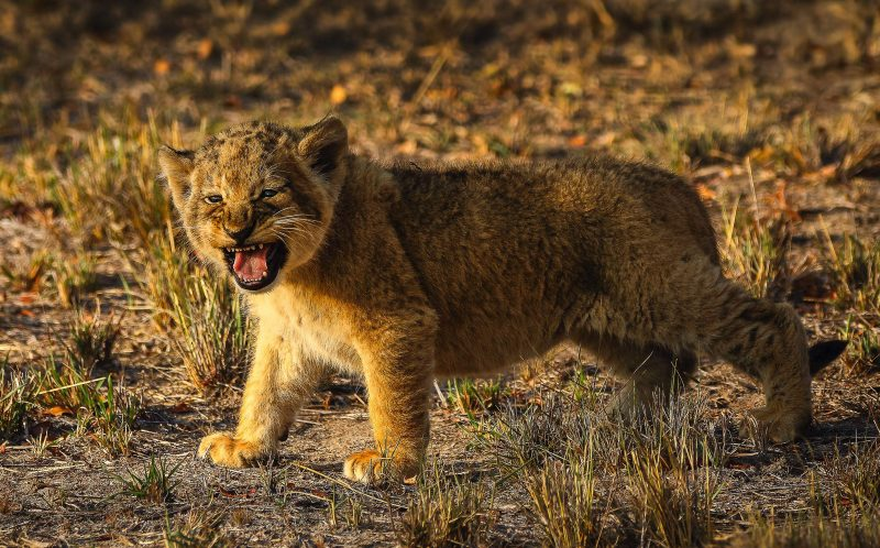 PIC BY HEINRICH NEUMAYER/MERCURY PRESS - The lion cub practicing its roar.