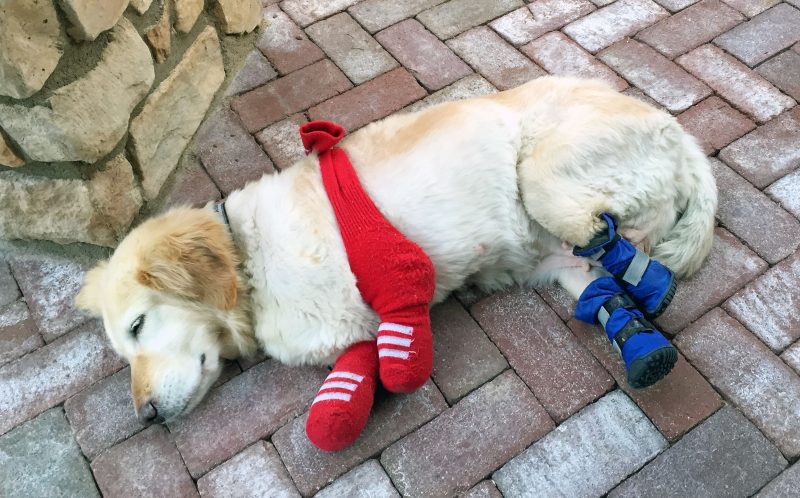 PIC FROM CATERS NEWS - (PICTURED: Chi Chi the dog after her surgery.) - A golden retriever has finally walked with prosthetics after a quadruple amputation saved her life. The adorable pooch, named Chi Chi, was left for dead outside a dog meat farm in South Korea, where she had been tied up by her paws to prepare her for slaughter. The tight bindings ate away at her flesh and after the farmers deemed her unworthy for food, she was disposed of in a rubbish bag. Thankfully, she was found by an animal welfare group and in a bid to save her life they amputated all four paws. Chi Chi was then flown 6,000 miles to Arizona, USA, where Elizabeth, 45, and Richard Howell, 44, welcomed her into their home. SEE CATERS COPY.