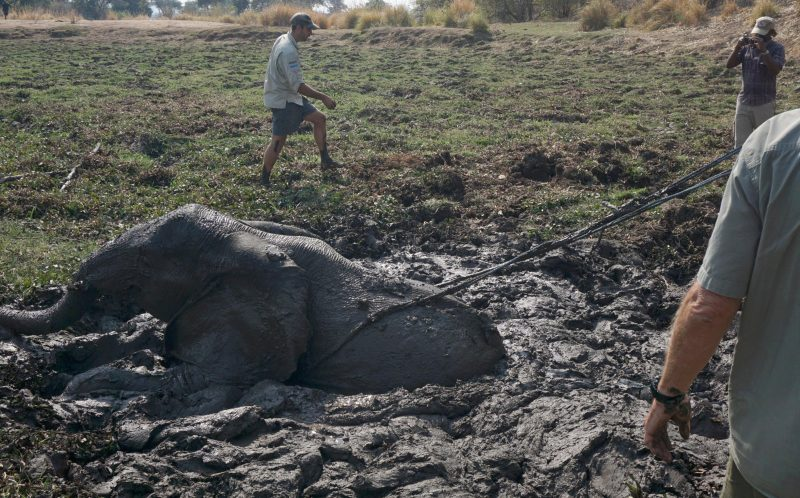 PIC BY NORMAN CROOKS/CATERS NEWS - (PICTURED: Rescuers attempt to rescue a baby elephant from the mud.) - A group of hunters got themselves into a sticky situation when rescuing a baby elephant from the mud. After discovering the trapped youngster the buffalo hunters decided to turn their hand to conservation. But after hauling the elephant to its feet again with a rope they were forced to turn and flee when the stressed animal shaped up to charge them. Fortunately the rescuers were able to get out of the way before they or the elephant was hurt. Professional photo guide Norman Crooks was accompanying the group in Chirundu, Zimbabwe, when they discovered the baby. SEE CATERS COPY.
