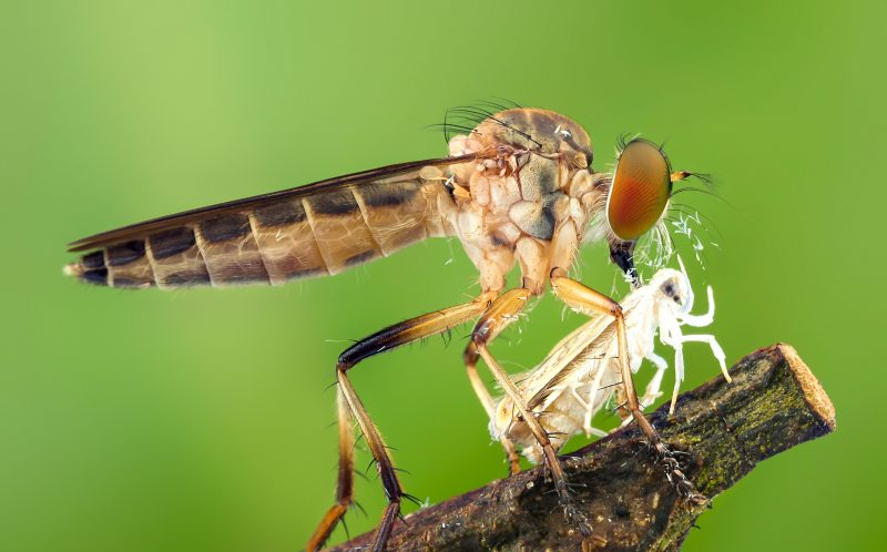 PIC BY TAN TIAN CHING/CATERS NEWS - (PICTURED: A robber fly feeds on a smaller insect.) - Its a fly eat fly world! These creepy snaps showing a cannibal fly feasting on a smaller fly will make you wince. Clasping the little flies in his grasp, the giant robber fly - also called an assassin fly - normally waits in ambush to catch its prey in flight, before paralysing it with poison and sucking it dry. The up-close shots were caught on camera by macro photographer Tan Tian Ching,from Malaysia, in a forest on the countrys north-west coast. SEE CATERS COPY.