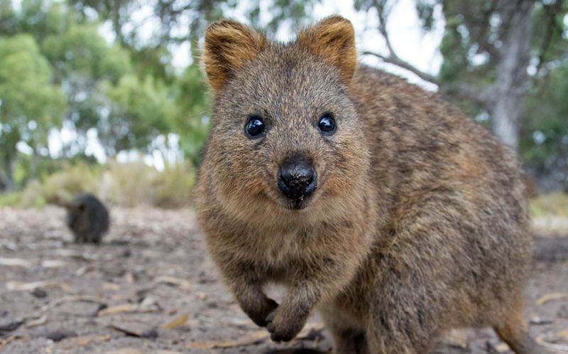 Quokking a smile - world's happiest animal smiles for the ...  Quokking a smil...