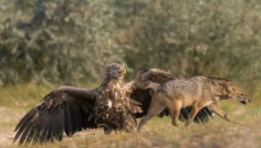 PIC BY LARS BEZEMER/ CATERS NEWS - (PICTURED: The Jackal walking off whilst the Eagle stands proud) - Pick on someone your own size! This is the dramatic moment an angry eagle squared up to a snarling jackal to protect a tiny bird from his clutches. As the hungry jackals goes to pounce on the terrified little bird, the protective eagle rears up and eventually chases him away. The tense stand-off was caught on camera by Lars Wiebe Bezemer, a pastry chef from the Netherlands, during a trip to the Danube Delta in Romania. Lars, 25, said: When a confrontation like this happens in front of your eyes, its like watching a great National Geographic series live. SEE CATERS COPY.