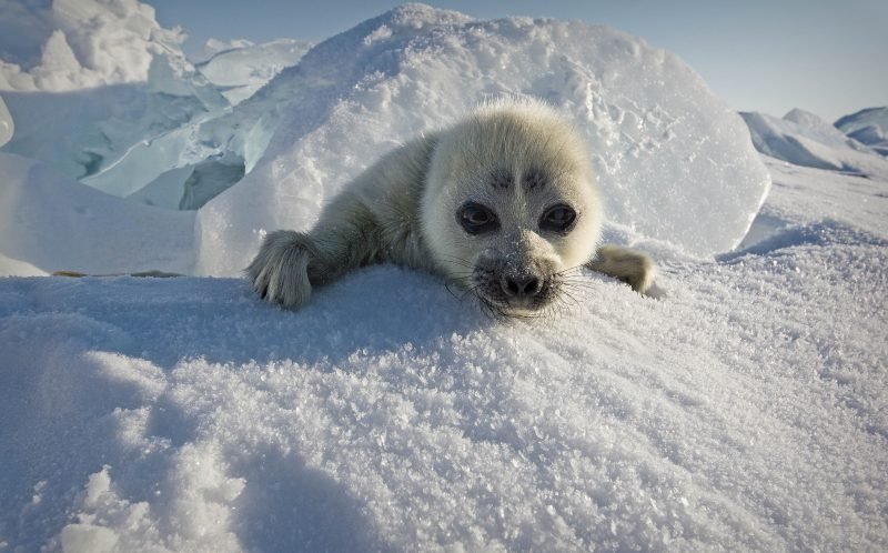 PIC BY ALEXEY TROFIMOV / CATERS NEWS - (PICTURED: An adorable seal pup, Lake Baikal, Russia.) - This adorable seal cub was more than happy to pose for a picture, so much so he even waved at the photographer. With its fluffy white fur, big glassy eyes and friendly wave, this icy seal pup is cute enough to melt even the coldest of hearts. Photographer Alexy Trofimov snapped the seal while on an expedition to Lake Baikal in Russia. Alexy, 45, said: The photos were taken from different distances, I managed to get fairly close to the pups. For the seals, I came on foot. - SEE CATERS COPY
