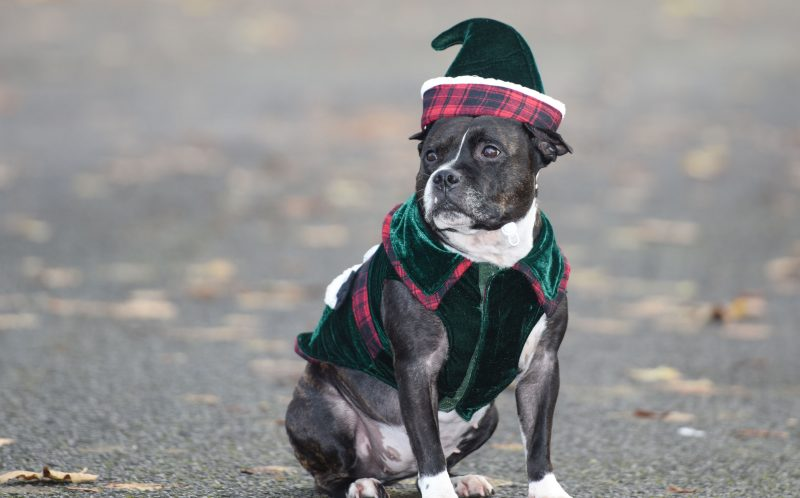 PIC BY MERCURY PRESS (PICTURED: Cleo the staffordshire Bull Terrier in one of her costumes.CLEO THE STAFFORDSHIRE BULL TERRIER WEARING HER ELF COSTUME)A personal trainer has spent 18,000 on cars, boats, outfits and even a PA for a pampered staffy he says is the perfect daughter. Anthony Walsh, 55, rescued Princess Cleopatra Superchill Cleo for short when she was 18 months old and has spent thousands on clothing, accessories and toys for her in the last three years. And the childless single man claims the five-year-old pooch who he pushes around on a 1,500 pram converted into a throne fit for her royal namesake is cleverer than most humans. SEE MERCURY COPY