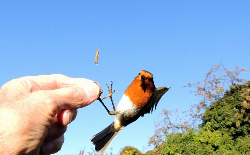 PIC BY TERRY TAYLOR / CATERS NEWS - (PICTURED: Terrys pet robin eats the worm.) - A pensioner has become a ROBIN WHISPERER - after spending hours talking to the birds in his garden and can now feed them from his mouth. Terry Taylor, 73, a retired cabinet maker from Waltham Abbey, Essex, accidentally took feeding the birds to a whole new level. After losing his wife in 2005, Terry has found comfort in feeding robins but was left stunned when one first pinched a worm from between his lips. Since the Summer, Terry has been hand-feeding a pair of Robins he recognised as mother and named them Susie and Monty. SEE CATERS COPY.