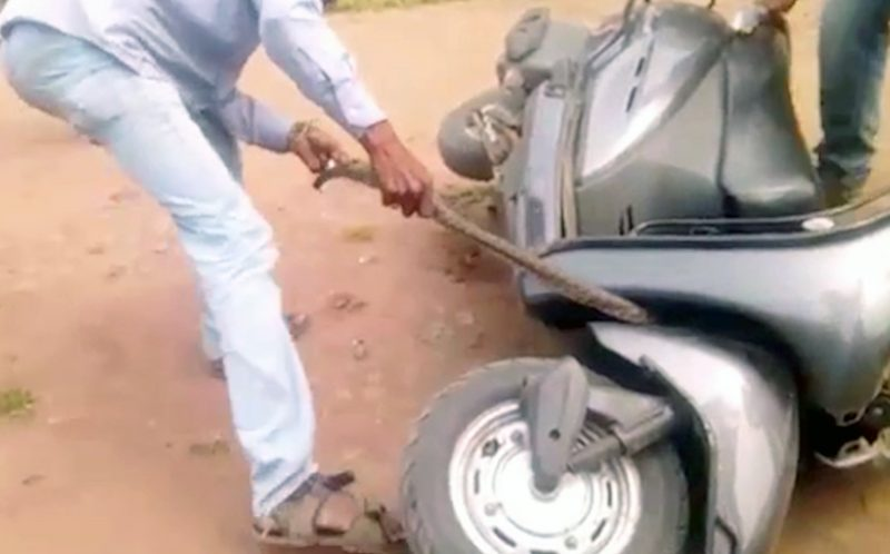 PIC FROM CATERS NEWS - (PICTURED: The rescuer tries to pull the snake after it was tangled around the scooter.) - A shocking video shows a deadly cobra stuck in the wheel of a scooter, forcing the driver to jump off in panic. The 8-feet long cobra had apparently made its way into the scooter through the opening under the wheels and slithered its way into the front. The snake sneaked out through the handlebars of the scooter, shocking the rider who was casually navigating his way through a street in Sangli town of India. Shell shocked, the driver abandoned his scooter and called animal rescuers. SEE CATERS COPY.