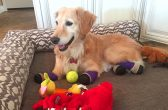 PIC FROM CATERS NEWS - (PICTURED: Chi Chi lays on her bed with her toys.) - A golden retriever has finally walked with prosthetics after a quadruple amputation saved her life. The adorable pooch, named Chi Chi, was left for dead outside a dog meat farm in South Korea, where she had been tied up by her paws to prepare her for slaughter. The tight bindings ate away at her flesh and after the farmers deemed her unworthy for food, she was disposed of in a rubbish bag. Thankfully, she was found by an animal welfare group and in a bid to save her life they amputated all four paws. Chi Chi was then flown 6,000 miles to Arizona, USA, where Elizabeth, 45, and Richard Howell, 44, welcomed her into their home. SEE CATERS COPY.
