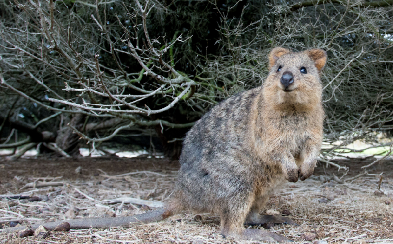 PIC BY MAX WAUGH/ CATERS NEWS - (PICTURED: The Quokka) - These super cute quokkas have earned themselves the title happiest animal in the world  and its easy to see why. The 40-centimetre-long furry animal has a permanent smile spread across its face. With a life spent foraging for tasty treats and receiving fuss from tourists, who can blame them. Quokkas are native to the Rottnest Island in Western Australia, although there are also isolated pockets on the mainland.  The pictures were taken by 40-year-old American photographer Max Waugh. SEE CATERS COPY.