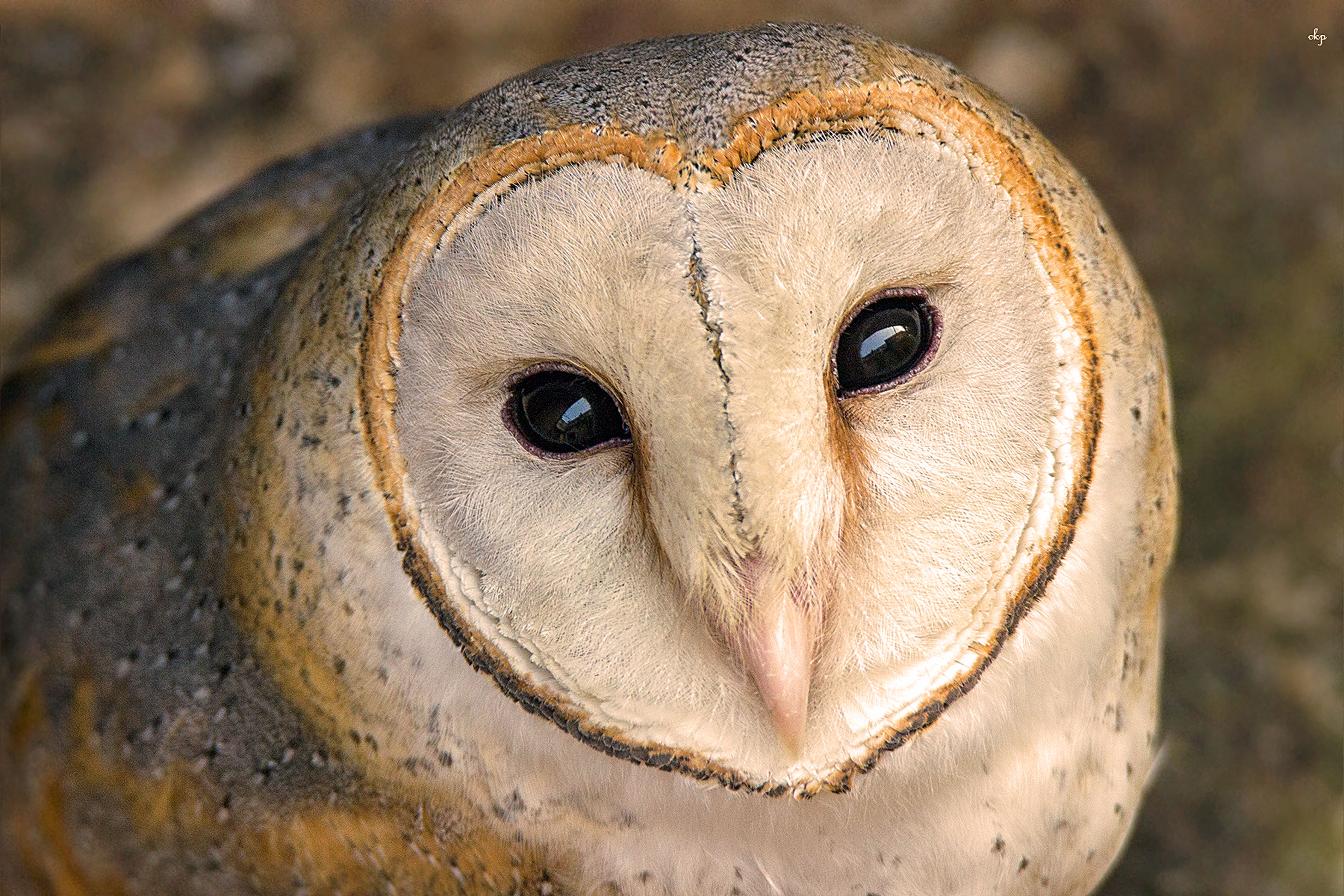 The look of love! An Adorable owl with heart-shaped face!