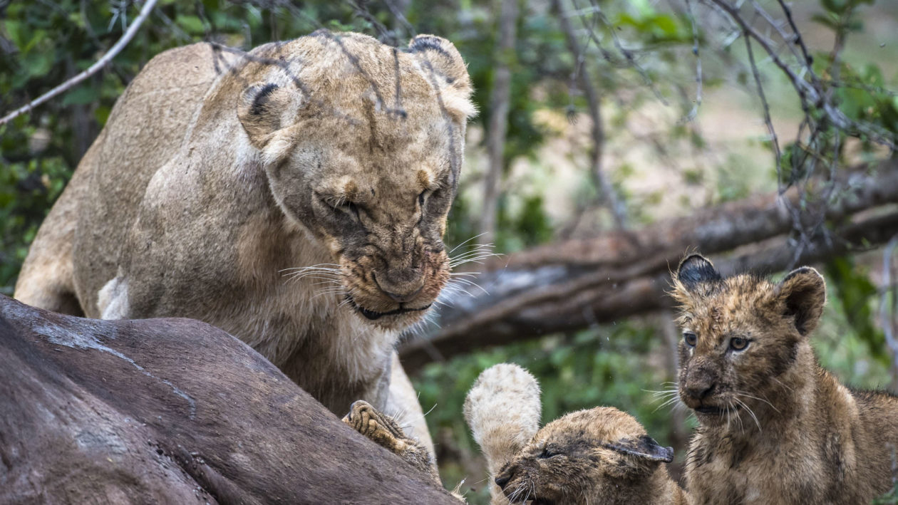 Angry Lioness Swipes Cub Over The Head As He Disturbs Her