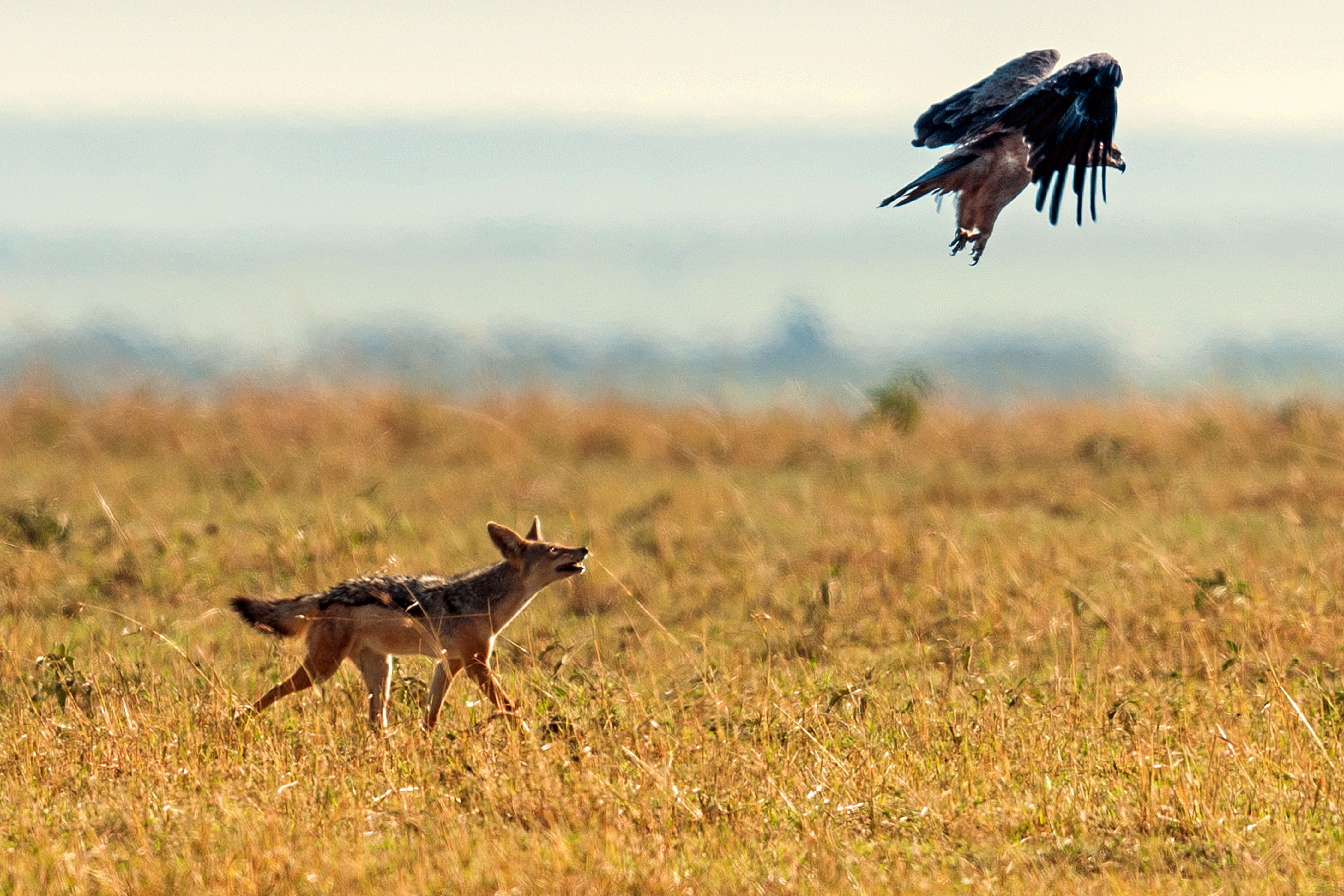 A hungry jackal wanted to attack an ostrich, but changed his mind 87