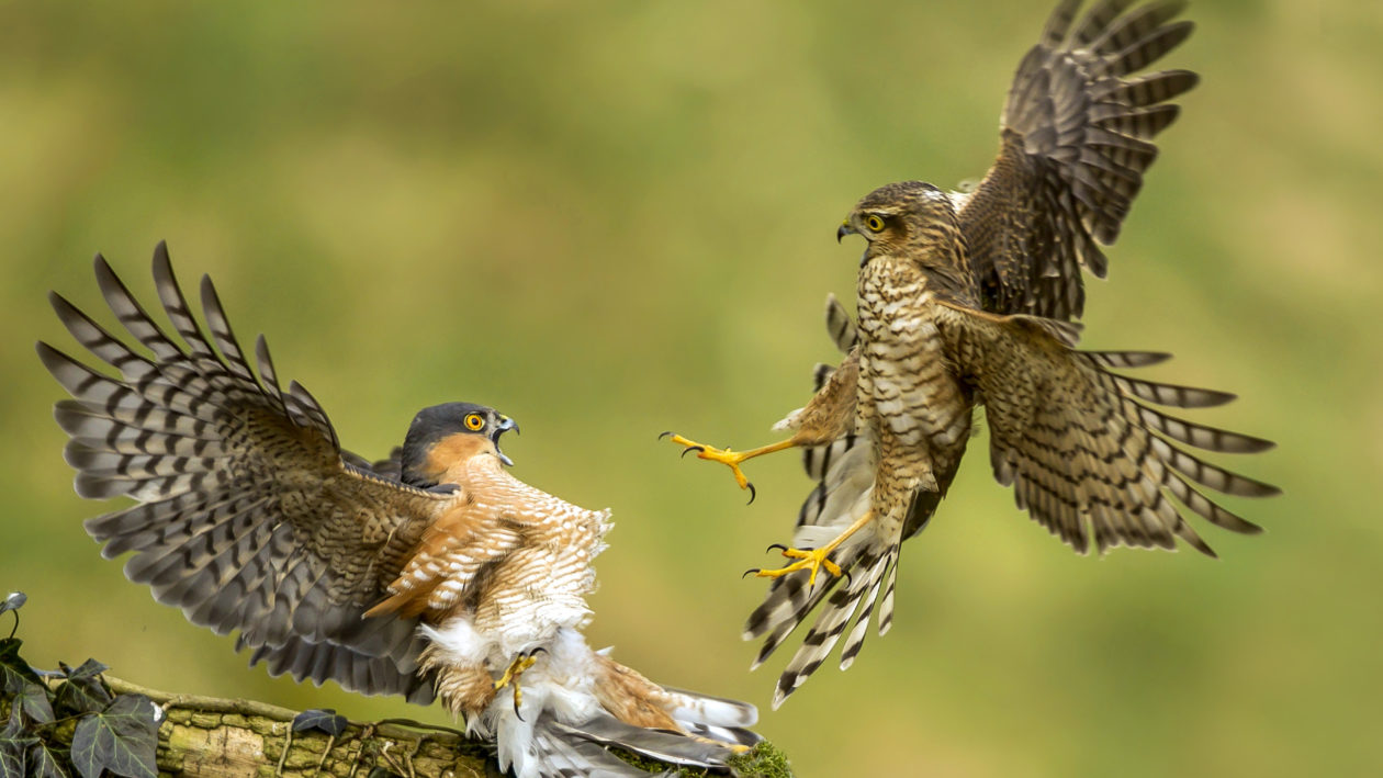 Rare Sight Of Sparrow Hawk Scrap As Youngsters Steal