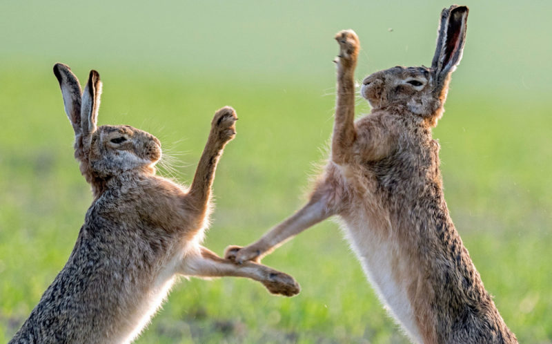 81e3467f9 Every bunny was kung fu fighting! Hares pictured in a bout! - Caters ...