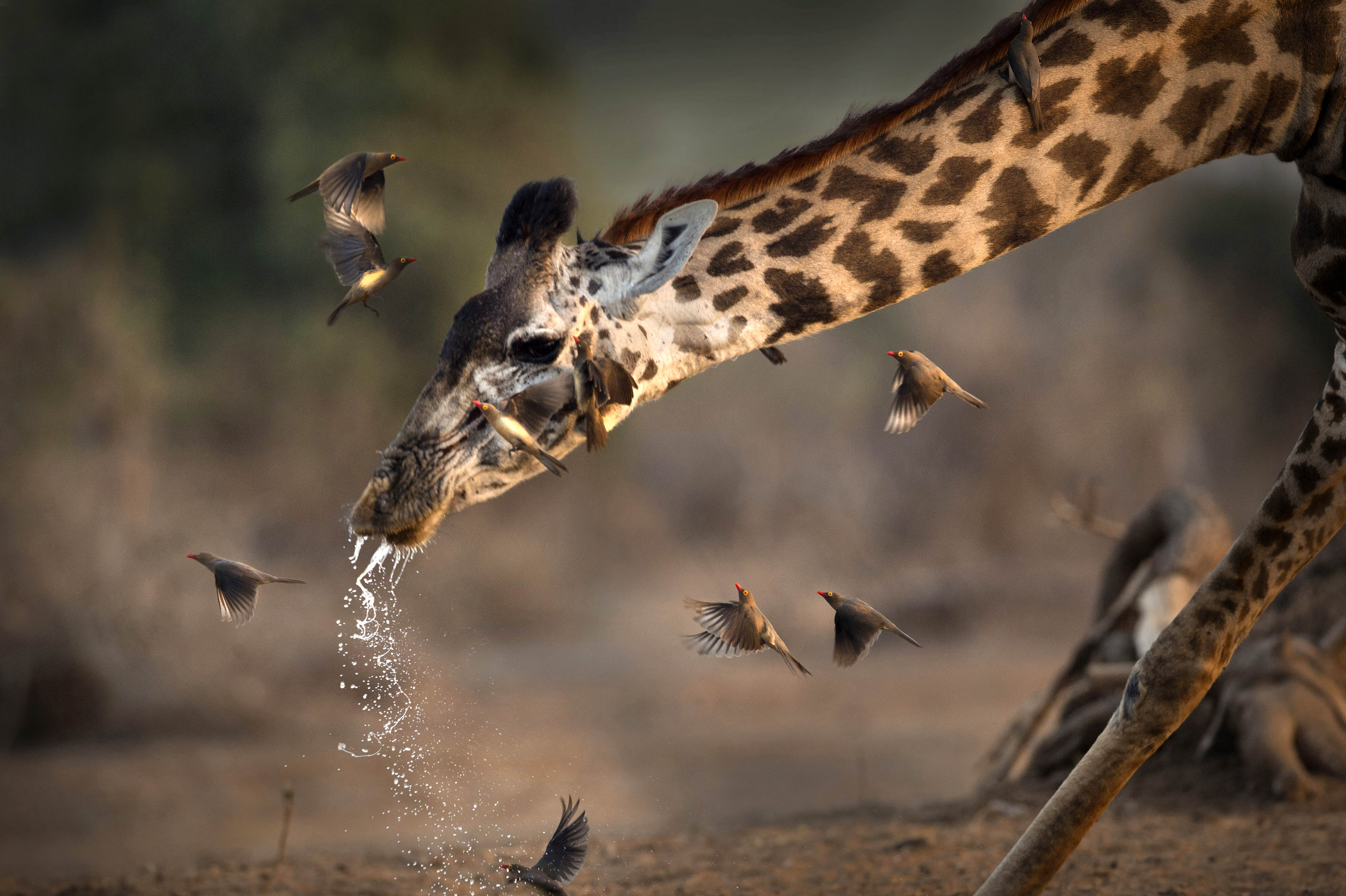 Bless You Giraffe Caught Sneezing Caters News Agency