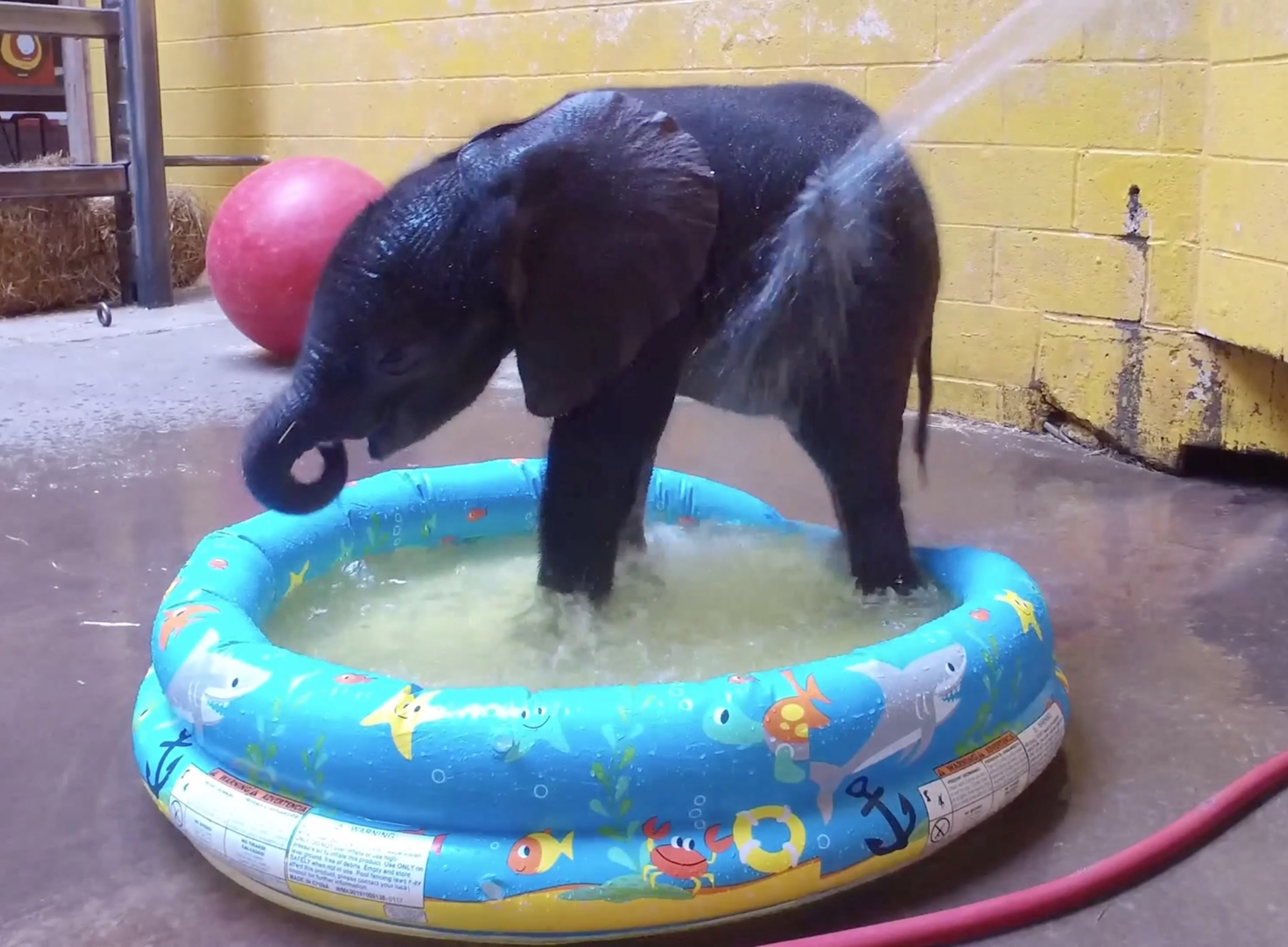 adorable baby elephant cools down in kids paddling pool and cannot get enough. Black Bedroom Furniture Sets. Home Design Ideas